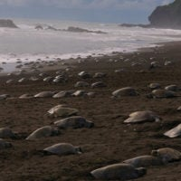 Olive Ridley sea turtles